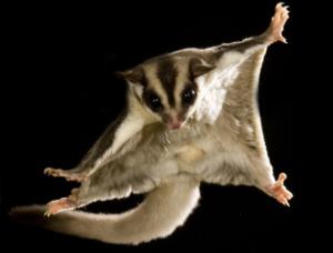 """Un petauro dello zucchero mentre """"vola"""""""