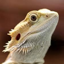 splendido esemplare di drago barbuto
