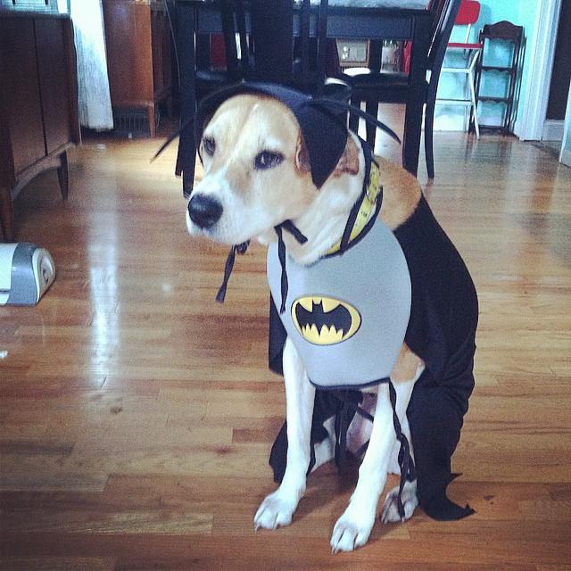 Un classico esempio di bat-cane
