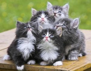 Splendida cucciolata di gatto norvegese
