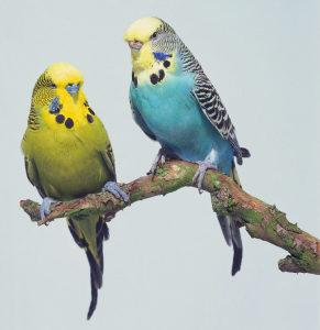 una coppia di cocorite dai colori splendidi