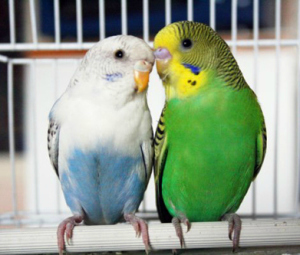 Due splendide cocorite