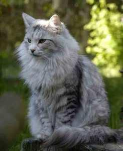 Splendido esemplare di gatto norvegese adulto