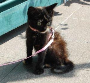 un esempio di guinzaglio per gatti