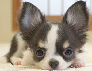 Un Cucciolo Di Chihuahua