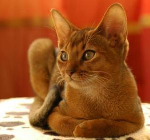 Un esemplare di gatto abissino
