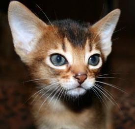 Un cucciolo di gatto abissino variante somala