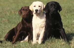 i tre principali colori del labrador