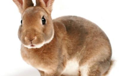Il coniglio domestico