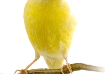 Canarini