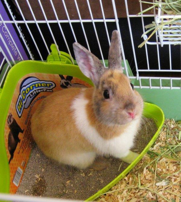 Come insegnare al coniglio l 39 uso della lettiera pet magazine - Lettiera coniglio nano ...
